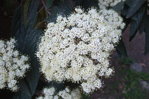 Viburnum rhytidophyllum Dscf5717