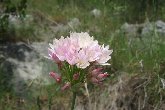 Allium roseum - ail rose Dscf5913