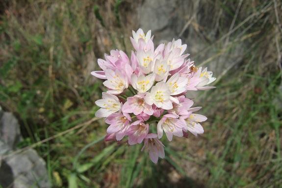 Allium roseum - ail rose Dscf5914