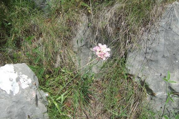 Allium roseum - ail rose Dscf5915