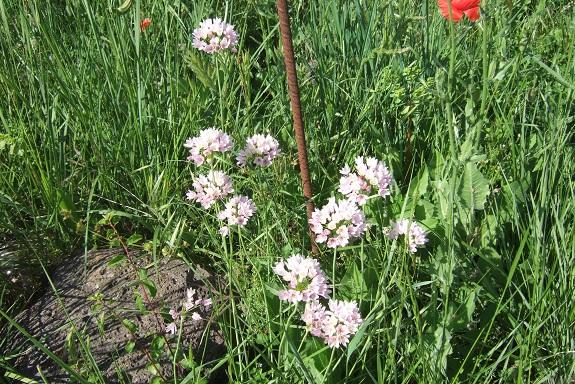 Allium roseum - ail rose Dscf5917