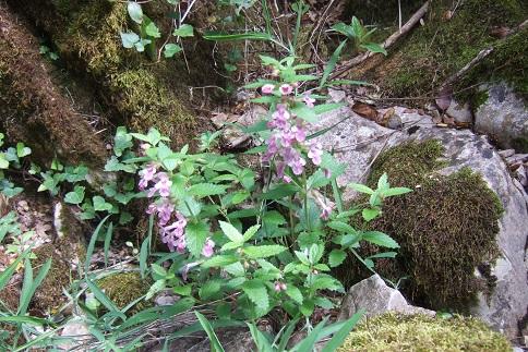 Melittis melissophyllum - mélitte à feuilles de mélisse Dscf5918