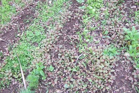 Amaranthus - les amarantes horticoles - Page 5 Dscf6010