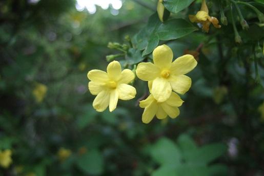 Jasminum humile (var. revolutum) Dscf6016