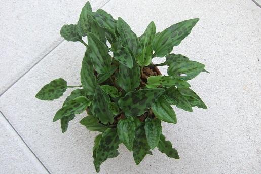Drimiopsis maculata (= Ledebouria petiolata) - Page 2 Dscf6047