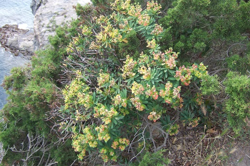 Euphorbia dendroides - euphorbe arborescente - Page 2 Dscf6122