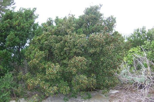 Rhamnus alaternus - nerprun alaterne Dscf6123