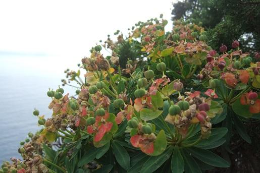 Euphorbia dendroides - euphorbe arborescente - Page 2 Dscf6253
