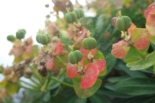 Euphorbia dendroides - euphorbe arborescente - Page 2 Dscf6254