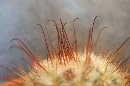 Mammillaria bombycina  Dscf6412