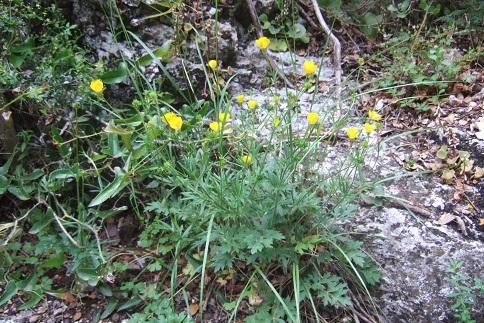 Ranunculus bulbosus - renoncule bulbeuse - Page 2 Dscf6417