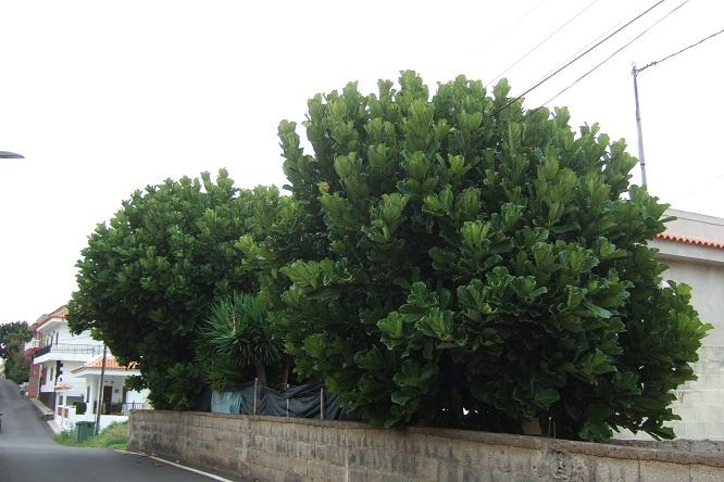 Ficus lyrata - figuier lyre Dscf9516