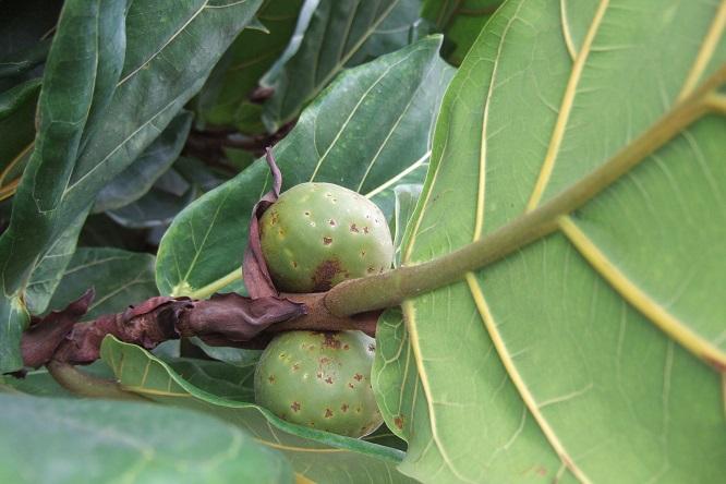 Ficus lyrata - figuier lyre Dscf9517