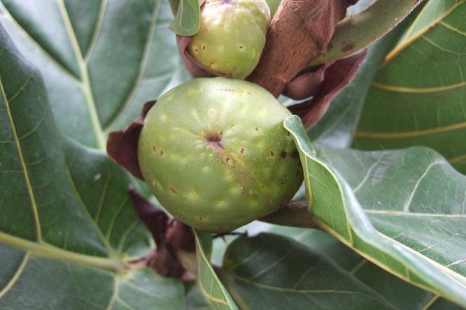 Ficus lyrata - figuier lyre Dscf9518