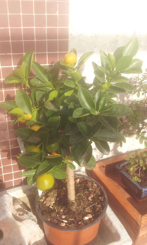 Trasplante citrus calamondin 20180210