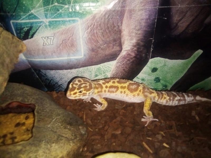 Mon gecko léopard est constipé Img_2010