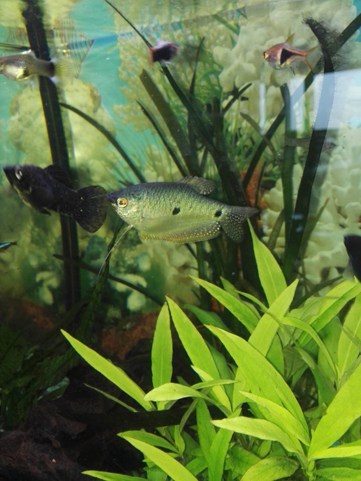 Besoin d aide pour differenciation gourami bleu 27972810