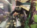 Dimension aquarium mauremys japonica adulte Img-2012