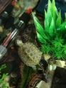 Dimension aquarium mauremys japonica adulte Img_2026