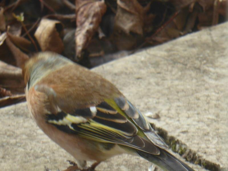 identification d'oiseau des jardins P1020512