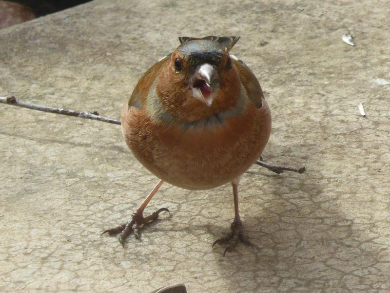 identification d'oiseau des jardins P1020513