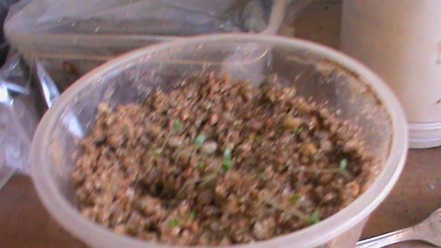 semis  de lavande  Dsc00017