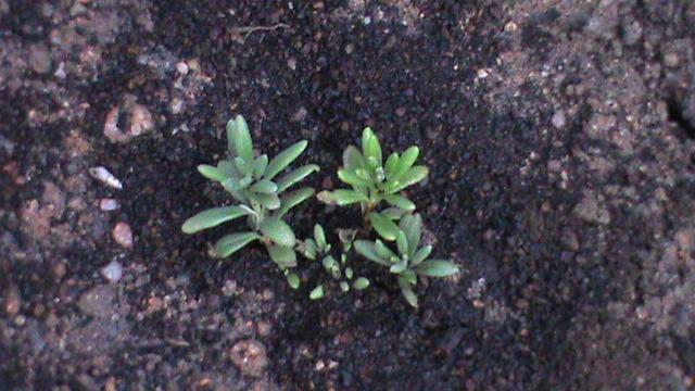 repiquage des semis Dsc00027