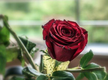 A una gran persona Rosa_r10