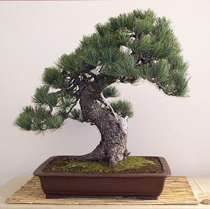 Novato con un Tunbergii Pinus-10