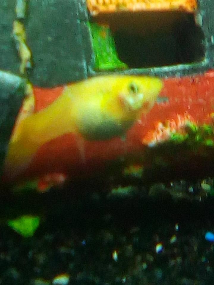 guppy femelle 28058710