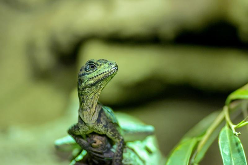 Hydrosaurus weberi  26fede10