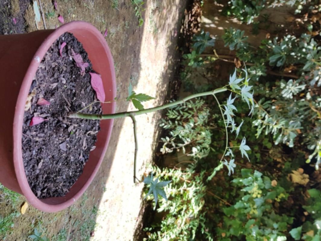 Puedo hacer de este Acer un bonsai? 20180211