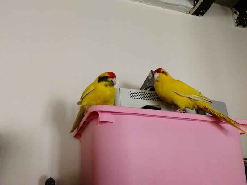 Couleur plumage  15223112