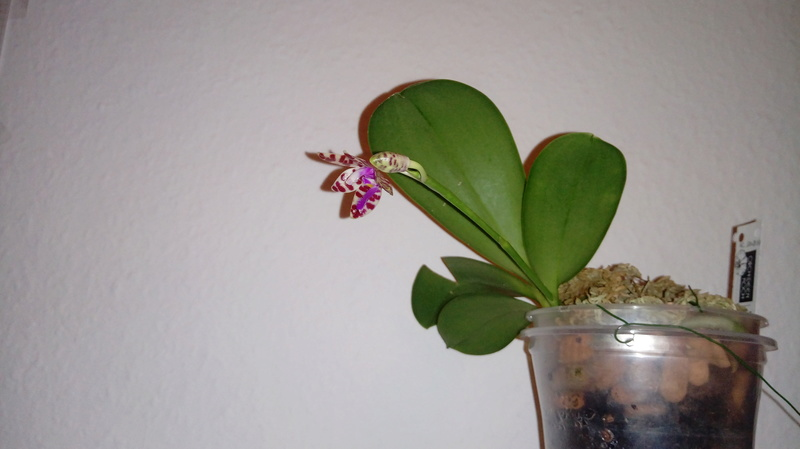 Phalaenopsis mariae - Seite 5 20180314