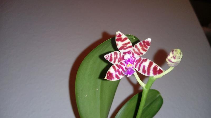 Phalaenopsis mariae - Seite 5 20180315