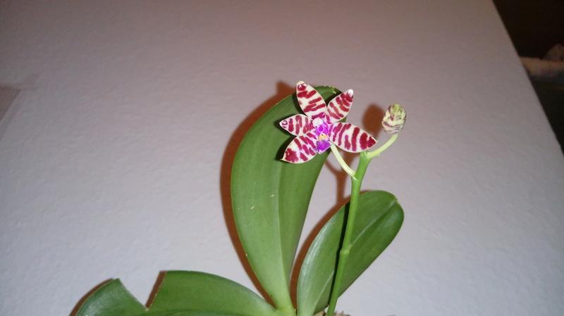 Phalaenopsis mariae - Seite 5 20180316