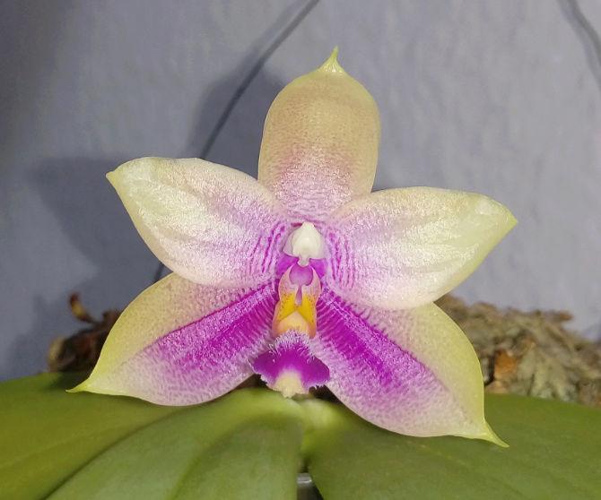 "Phalaenopsis floresensis (rofino) x bellina ""Wu""  Screen18"