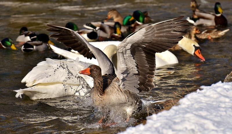 Oie Goose-10