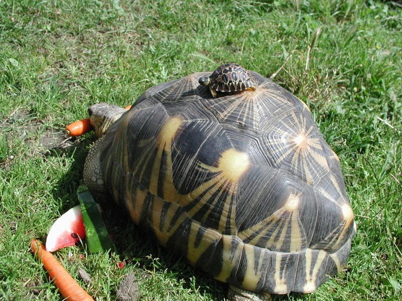 Elevage d' Astrochelys Radiata - la tortue rayonnée Prik1010