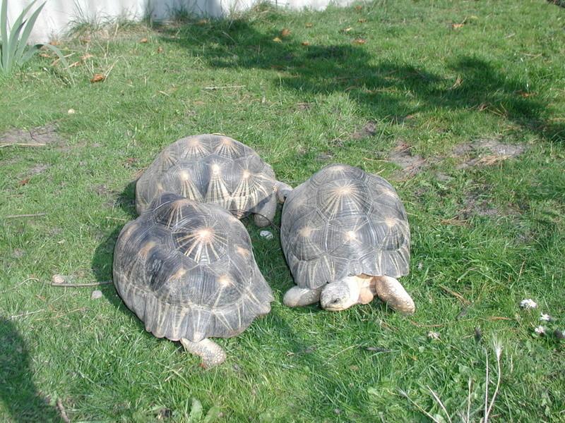 Elevage d' Astrochelys Radiata - la tortue rayonnée Prik110