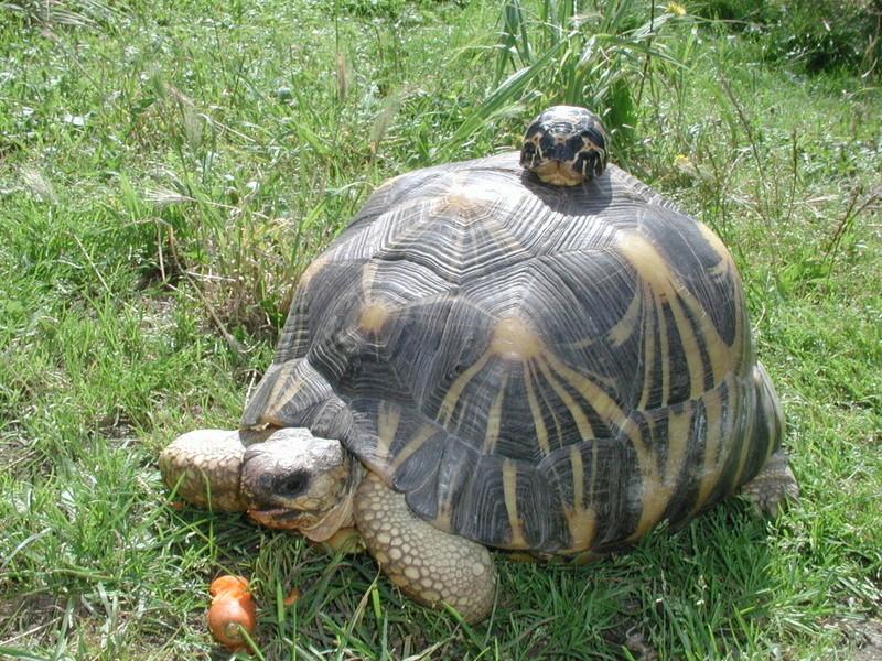 Elevage d' Astrochelys Radiata - la tortue rayonnée Prik1210