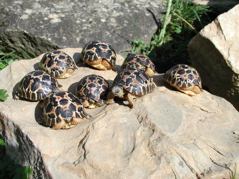 Elevage d' Astrochelys Radiata - la tortue rayonnée Prik1310