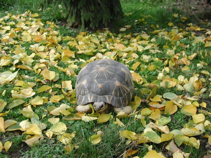 Elevage d' Astrochelys Radiata - la tortue rayonnée Prik1510