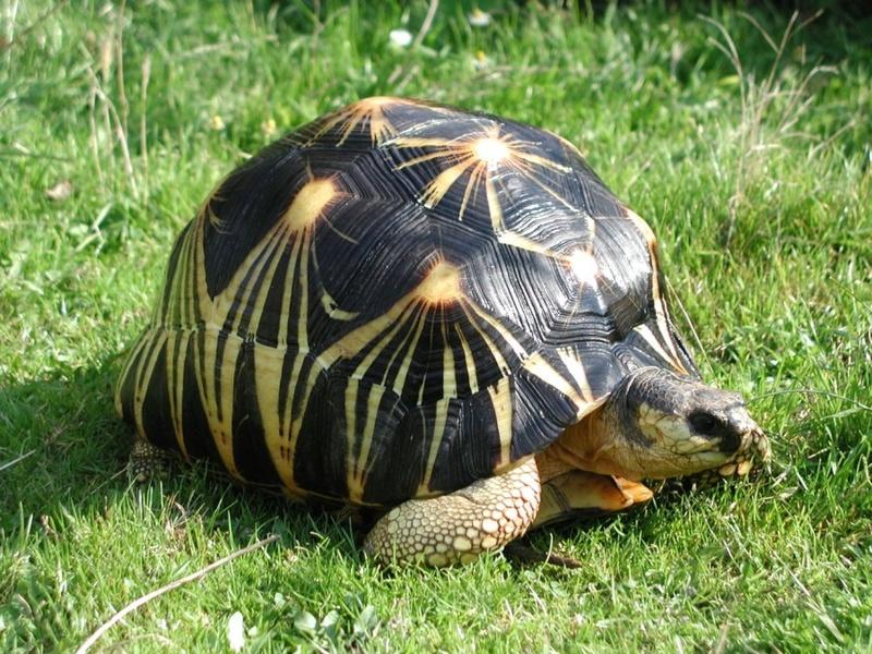 Elevage d' Astrochelys Radiata - la tortue rayonnée Prik210
