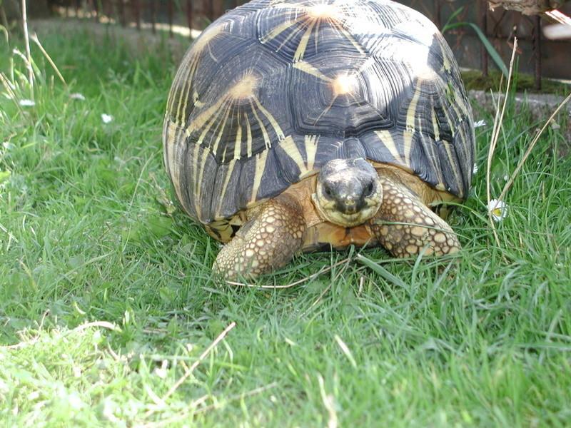 Elevage d' Astrochelys Radiata - la tortue rayonnée Prik310