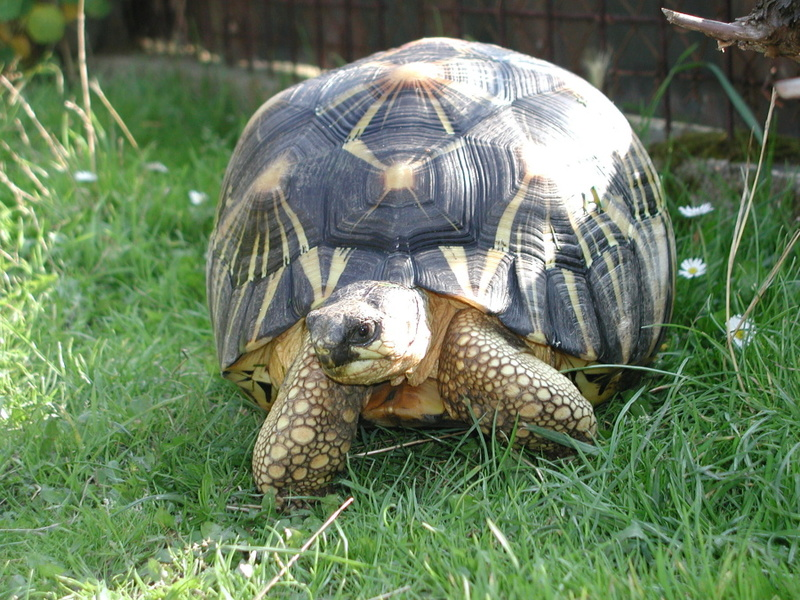 Elevage d' Astrochelys Radiata - la tortue rayonnée Prik410