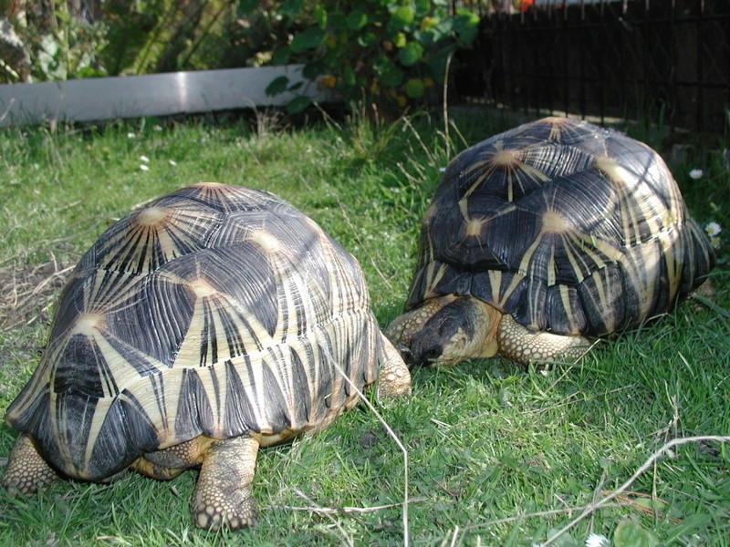 Elevage d' Astrochelys Radiata - la tortue rayonnée Prik510