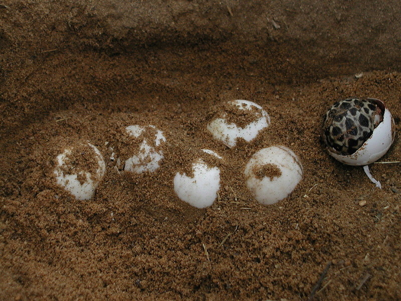 Elevage d' Astrochelys Radiata - la tortue rayonnée Prik710