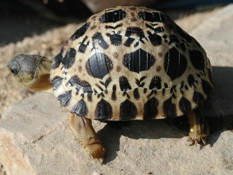 Elevage d' Astrochelys Radiata - la tortue rayonnée Prik810