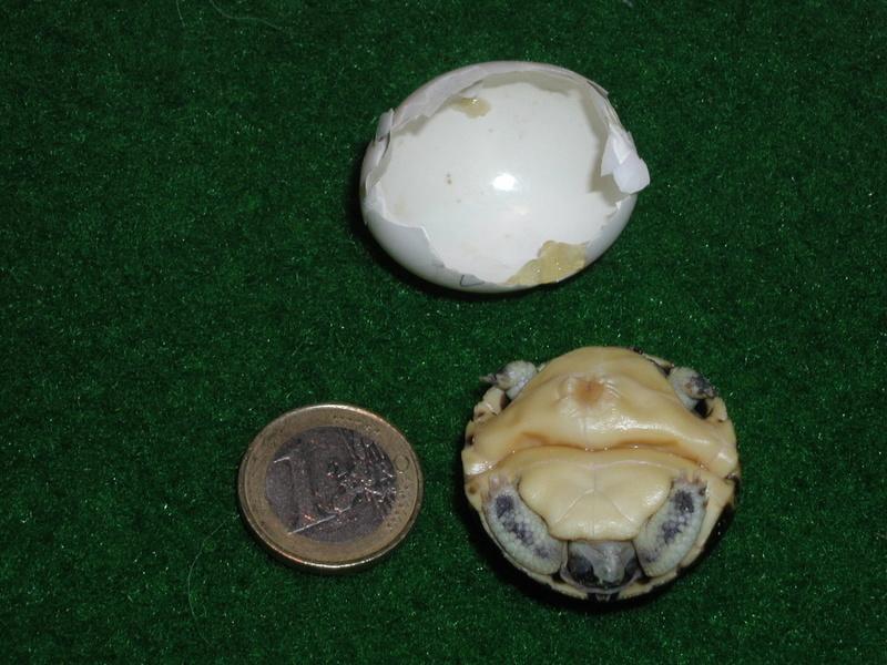 Elevage Pyxis Arachnoides Pyxis111